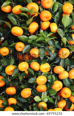 A tangerine plant full with tangerine fruits which is an ornamental plant for the Chinese during Chinese New Year. - stock photo