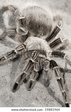 A tarantula stands defensively on the dirt - stock photo