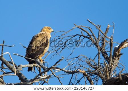 A Tawny Eagle (Aquila rapax) perched in a dead tree, Kalahari desert, South Africa - stock photo
