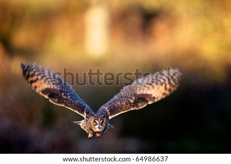 A tawny owl flying in golden evening sunlight - stock photo