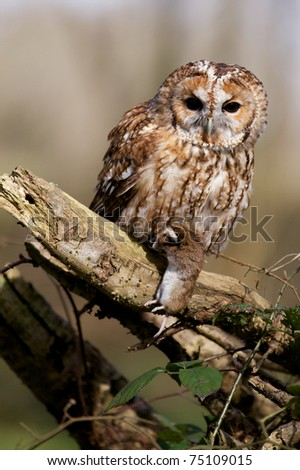 A tawny owl in the forest with a vole - stock photo