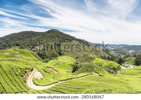 A tea plantation in the Cameron Highlands, a few hours north of Kuala Lumpur in Malaysia. this was a british hill station under colonial times. - stock photo