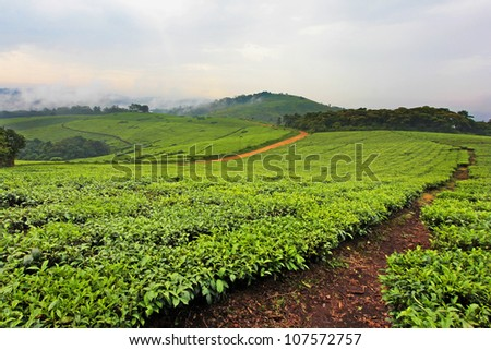 A Tea Plantation in Uganda, Africa. Tea is an important export in this country; locals spend all day in the hot sun working for less than a few dollars a week. - stock photo