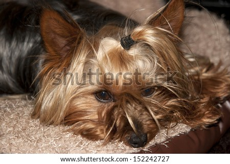 a teacup yorkie terrier resting in its basket - stock photo