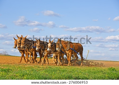 A team of mules pull a soil roller and a spring-tooth harrow on an Amish farm in Lancaster County, Pennsylvania. - stock photo
