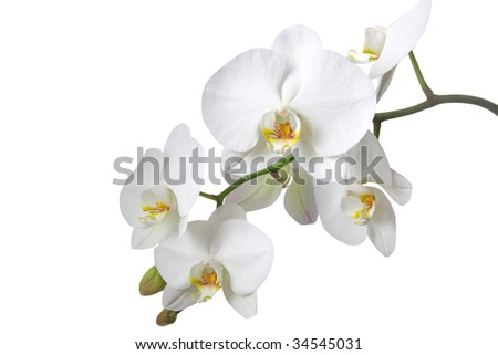 A tender white orchid. All isolated on white background. - stock photo