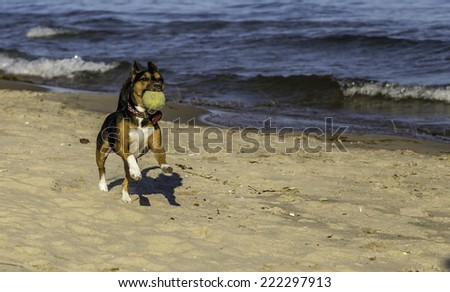 A terrier fetching a tennis ball on the beach in the summer - stock photo