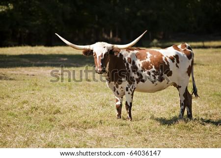 A Texas longhorn cow in an autumn meadow. - stock photo