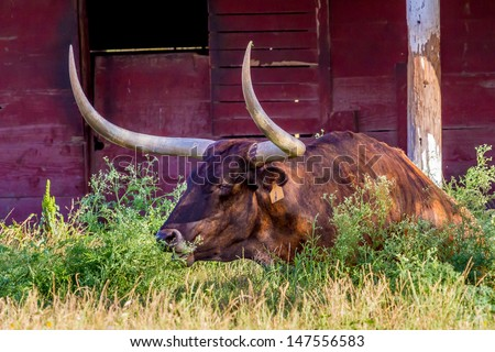 A Texas Longhorn Lounging in a Pasture with a Red Barn in Texas. - stock photo