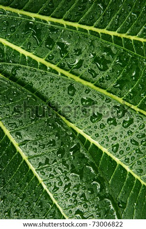 a texture of a green Plumeria leaf - stock photo