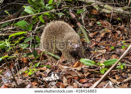 A thin-spined porcupine on the forest floor.  - stock photo