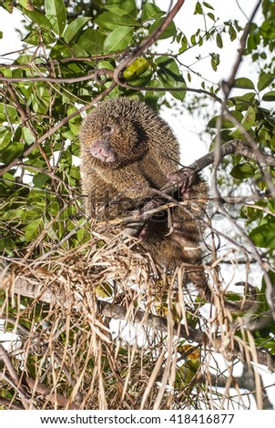 A thin-spined porcupine sits in a tree. - stock photo