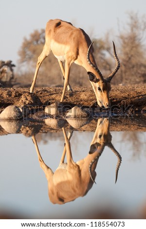 A thirsty impala reflected in a pool of water - stock photo