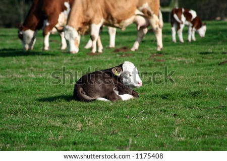 A three day old calf resting in a field of green grass, with other cows in the background - stock photo
