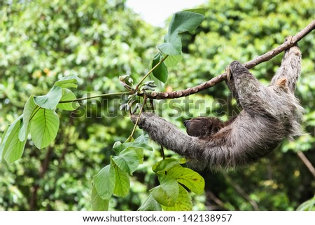 A three toed sloth hanging by three legs on a branch of a tropical plant with one arm reaching for leaves. - stock photo