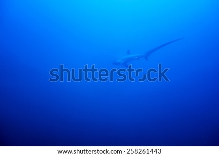 A Thresher shark swimming in the blue waters of the philippines - stock photo