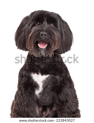 A Tibetan Terrier dog  portrait of head and upper body.  Dog is facing forward and looking into the camera. - stock photo