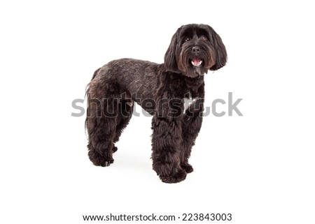 A Tibetan Terrier dog standing facing forwards looks into the camera. - stock photo
