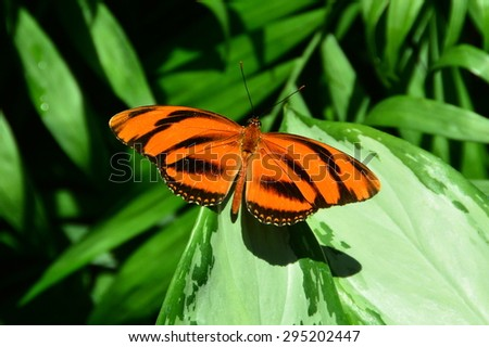 A Tiger Longwing butterfly lands in the butterfly gardens for a holiday. - stock photo