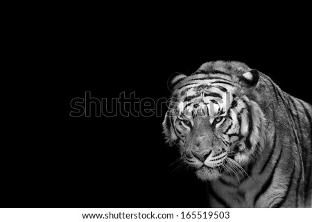 A tiger ready to attack looking at you in black and white - stock photo