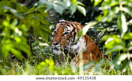 A tiger resting in the shade of green vegetation - stock photo