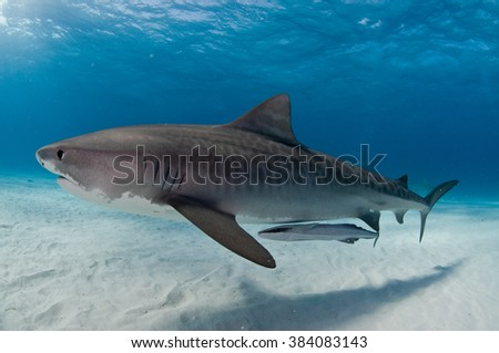 A tiger shark gliding gracefully past accompanied by a remora fish - stock photo