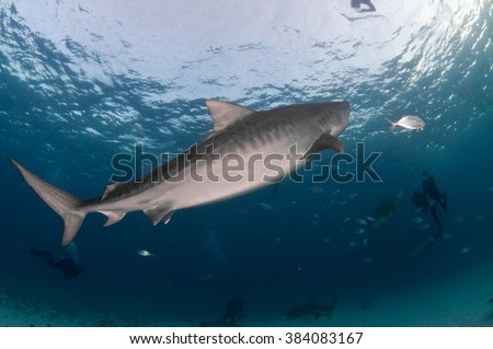 A tiger shark swimming peacefully by a group of divers - stock photo