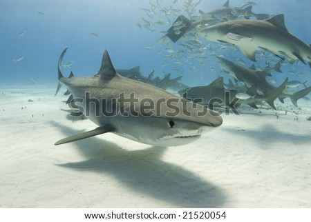 A Tiger Shark swims by the camera as Lemon Sharks frenzy for their share of food in the background - stock photo