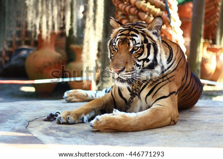 A tiger sitting in a zoo - stock photo