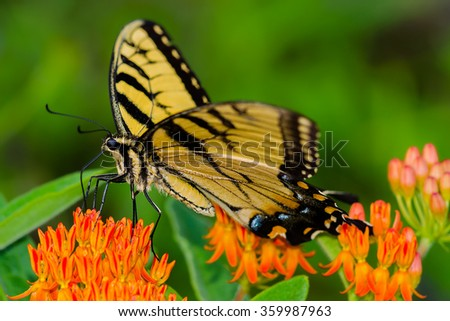 A Tiger Swallowtail on Butterfly weed in the Appalachian Mountains  - stock photo