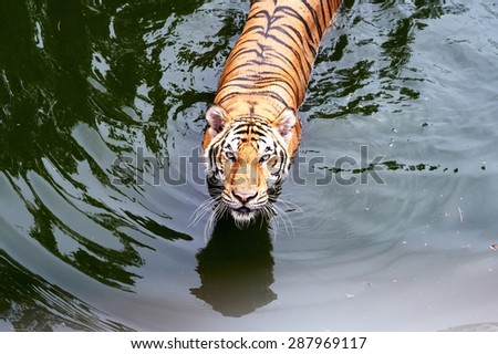 A tiger Walking Through in a water pool /Tiger in a water pool - stock photo
