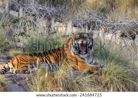 A Tiger Yawns While Lying Down in the Grass - stock photo