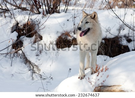 A timber and arctic wolf mix looks into the distance as he stands on a snow covered rock in the woods. - stock photo