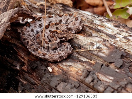 A timber rattlesnake on a burnt log in Ouchita National Forest of Oklahoma - stock photo