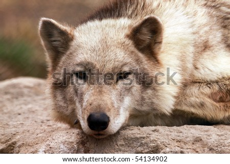 A timber wolf (canis lupus). - stock photo
