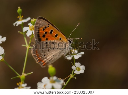 A tiny and strikingly beautiful butterfly called an American Copper feeds on the nectar of a tiny wildflower in a western Wisconsin wetland. - stock photo