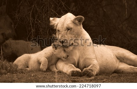A tiny baby white lion cub rubs heads with her big sister showing love and affection and strengthening the bond in the pride. unfocused - stock photo