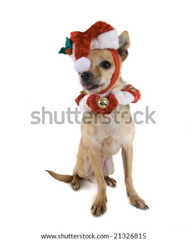 a tiny chihuahua dressed in a santa outfit - stock photo