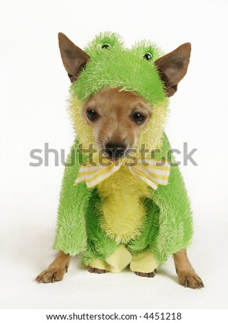 a tiny chihuahua dressed up in a frog outfit - stock photo