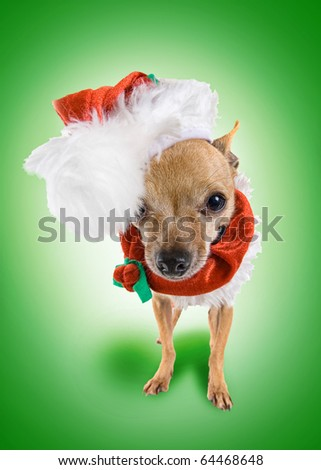 a tiny chihuahua dressed up in a santa costume - stock photo