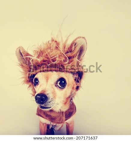 a tiny chihuahua in a lion costume toned with a retro vintage instagram filter  - stock photo