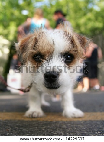 a tiny chihuahua mix in a parking lot - stock photo