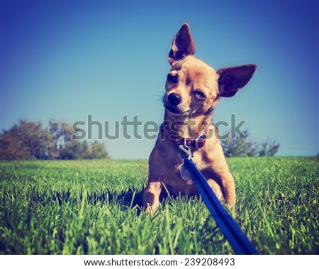 a tiny chihuahua on a grassy hill toned with a retro vintage instagram filter effect  - stock photo