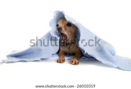 a tiny chihuahua with a blue blanket - stock photo