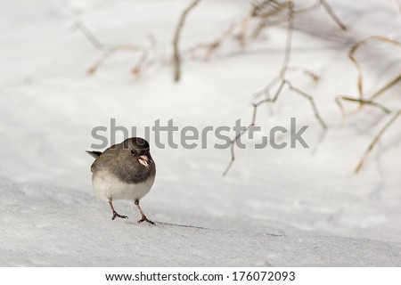 A tiny dark-eyed, slate-colored junco bird scurries across the snow with a seed in its pink beak. - stock photo