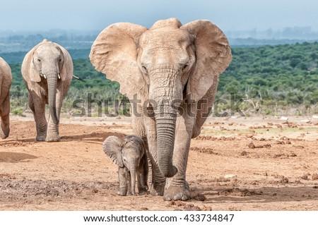 A tiny elephant calf, Loxodonta africana, walking next to its mother - stock photo