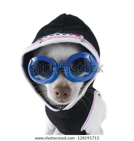 a tiny white chihuahua with goggles and a hoodie on - stock photo