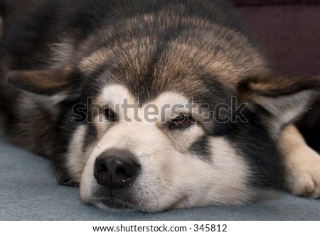 A tired Alaskan Malamute dog - stock photo