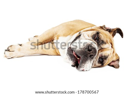 A tired Bulldog laying down on his side against a white backdrop - stock photo
