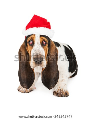 A tired young Basset Hound breed puppy dog with bloodshot droopy eyes wearing a Christmas Santa Claus hat - stock photo